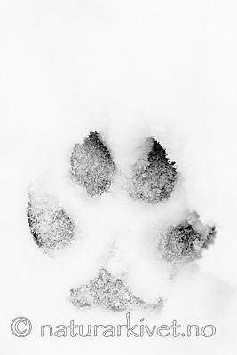 BB_20180217_0035 / Canis lupus / Ulv