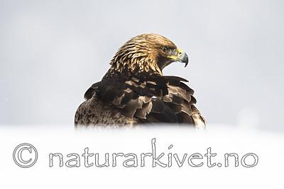 BB_20180227_2120 / Aquila chrysaetos / Kongeørn