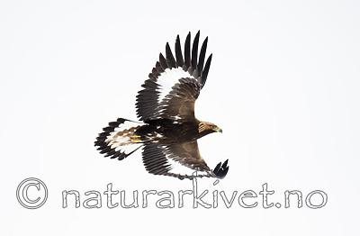 BB_20180228_0471 / Aquila chrysaetos / Kongeørn