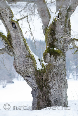 BB_20180311_0010 / Quercus robur / Sommereik <br /> Strix aluco / Kattugle