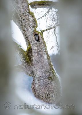 BB_20180311_0026 / Quercus robur / Sommereik <br /> Strix aluco / Kattugle