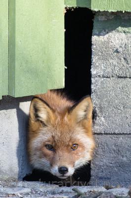 BB_20180327_0006 / Vulpes vulpes / Rødrev