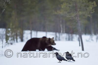 BB_20180417_0433-2 / Corvus corax / Ravn <br /> Ursus arctos / Brunbjørn