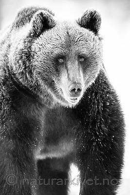 BB_20180418_0156 / Ursus arctos / Brunbjørn