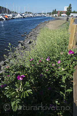 BB_20180604_0011 / Lepidium latifolium / Strandkarse <br /> Rosa rugosa / Rynkerose