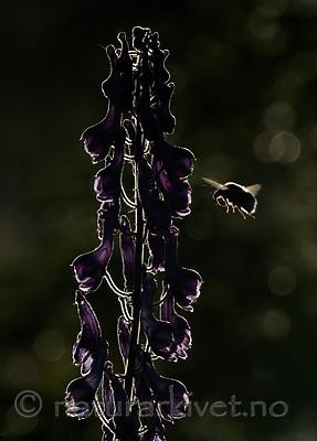 BB_20180707_0258 / Aconitum lycoctonum / Torhjelm