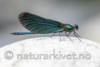 BB_20180712_0223 / Calopteryx virgo / Blåvingevannymfe