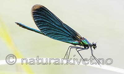 BB_20180712_0236 / Calopteryx virgo / Blåvingevannymfe