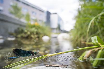 BB_20180712_0475 / Calopteryx virgo / Blåvingevannymfe