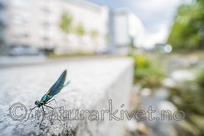 BB_20180712_0591 / Calopteryx virgo / Blåvingevannymfe