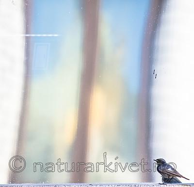 BB_20180720_0163 / Phoenicurus ochruros / Svartrødstjert