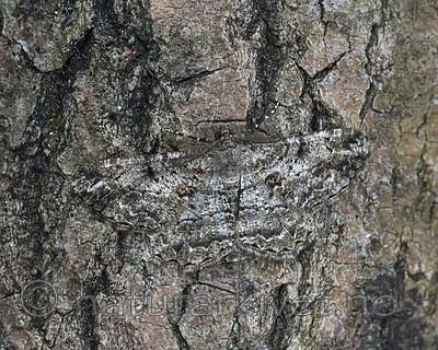 BB_20180722_0050 / Peribatodes rhomboidaria / Grå barkmåler