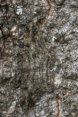 BB_20180722_0055 / Peribatodes rhomboidaria / Grå barkmåler
