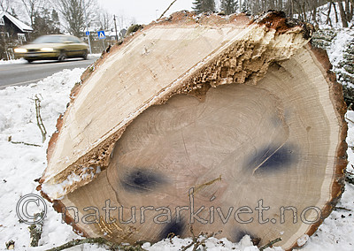 BB_20181215_0019 / Quercus robur / Sommereik