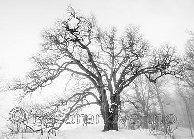 BB_20190120_0043 / Quercus robur / Sommereik