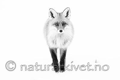 BB_20190419_0034-2 / Vulpes vulpes / Rødrev