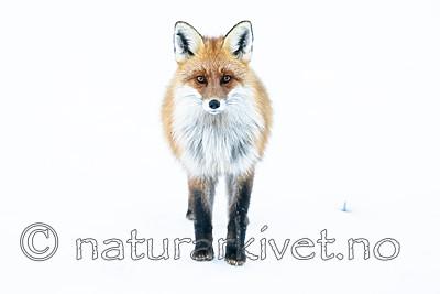 BB_20190419_0048 / Vulpes vulpes / Rødrev