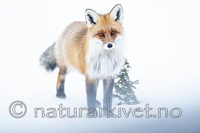 BB_20190419_0052 / Vulpes vulpes / Rødrev
