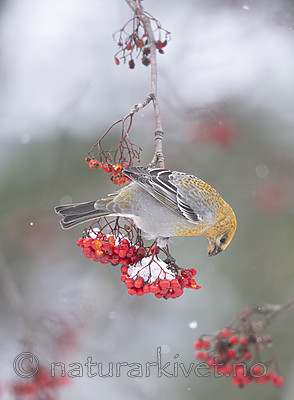 BB_20191110_1561 / Pinicola enucleator / Konglebit <br /> Sorbus aucuparia / Rogn