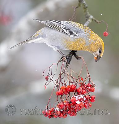 BB_20191110_1643 / Pinicola enucleator / Konglebit <br /> Sorbus aucuparia / Rogn