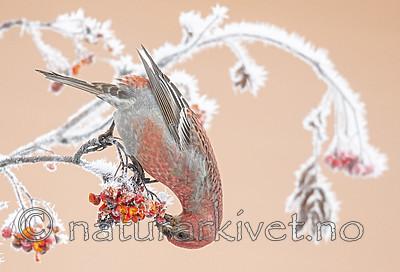 BB_20191201_0222 / Pinicola enucleator / Konglebit <br /> Sorbus aucuparia / Rogn