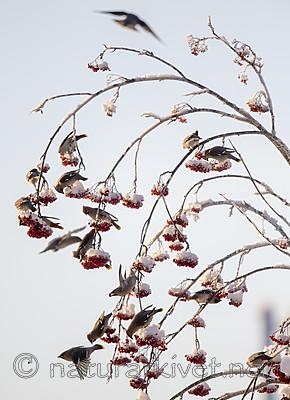 BB_20191202_0598 / Bombycilla garrulus / Sidensvans <br /> Sorbus aucuparia / Rogn
