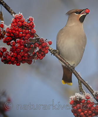 BB_20191202_0675 / Bombycilla garrulus / Sidensvans <br /> Sorbus aucuparia / Rogn