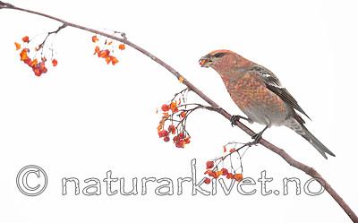 BB_20191208_0545 / Pinicola enucleator / Konglebit <br /> Sorbus aucuparia / Rogn