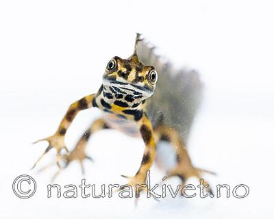 BB_20200502_0138 / Lissotriton vulgaris / Småsalamander