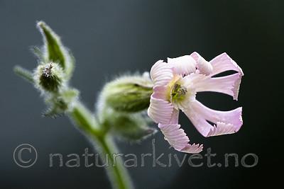 BB_20200719_0416 / Silene noctiflora / Nattsmelle
