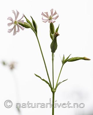 BB_20200719_0471 / Silene noctiflora / Nattsmelle