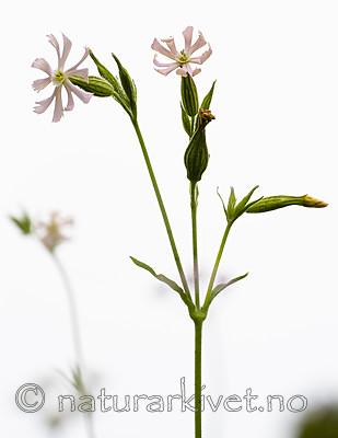 BB_20200719_0477 / Silene noctiflora / Nattsmelle
