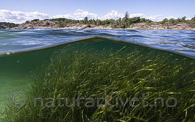 BB_20200804_0252 / Zostera marina / ålegras <br /> Zostera marina