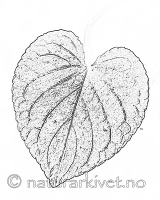 BB_20200810_0086_5 / Viola mirabilis / Krattfiol