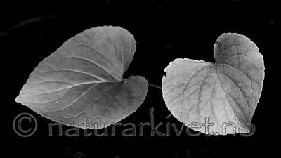 BB_20200810_0096-2 / Viola mirabilis / Krattfiol