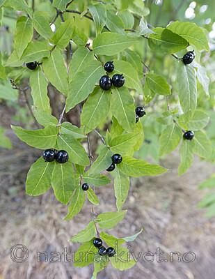 BB_20200914_0001 / Lonicera nigra / Svartleddved