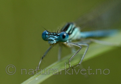 DSC_5494 / Platycnemis pennipes / Elvevannymfe