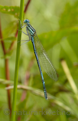 DSC_5509_2 / Platycnemis pennipes / Elvevannymfe