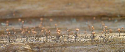 DSC_7816 / Sclerophora coniophaea / Rustdoggnål