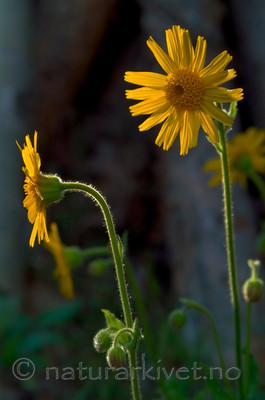 DSC_9735 / Arnica montana / Solblom