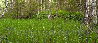 DSC_9770 / Glyceria lithuanica / Skogsøtgras