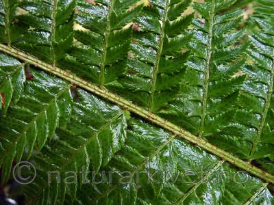KA2_090922_0242 / Polystichum aculeatum / Falkbregne