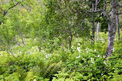 KA_06_1_1121 / Campanula latifolia / Storklokke