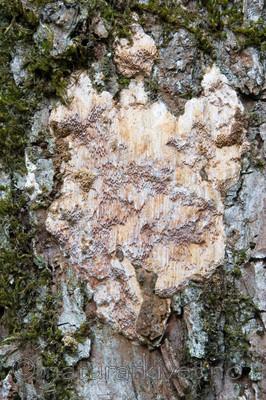 KA_06_1_1503 / Pachykytospora tuberculosa / Eikegreinkjuke