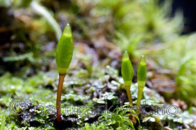 KA_06_1_1543 / Buxbaumia viridis / Grønnsko