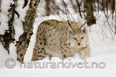 KA_07_1_0203 / Lynx lynx / Gaupe