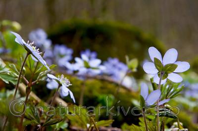 KA_07_1_0399 / Hepatica nobilis / Blåveis
