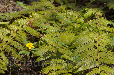 KA_07_1_0451 / Anemone ranunculoides / Gulveis <br /> Polystichum braunii / Junkerbregne