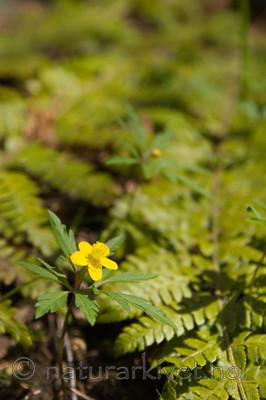 KA_07_1_0454 / Anemone ranunculoides / Gulveis <br /> Polystichum braunii / Junkerbregne