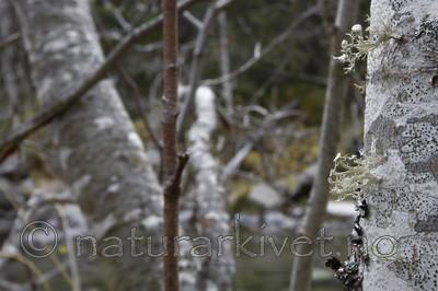 KA_07_1_1812 / Ramalina sinensis / Flatragg